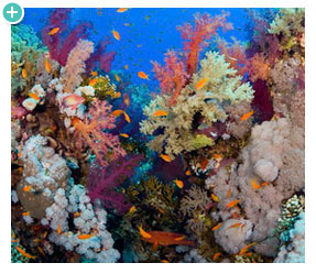 Coral reefs are rich with diverse sea life