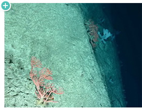 TowCam captured this deep-sea, soft coral approximately 5,824 feet deep in the Tom�s Canyon Complex.