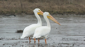 Pelicans in Louisiana