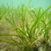 Habitat of the Month: Seagrass
