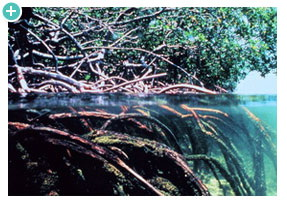 Mangroves showing root system below the water surface