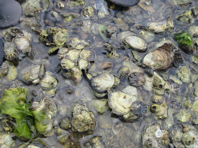 Underwater oyster reef - photo#28