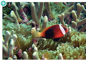 Clownfish swimming near shallow coral and anemones
