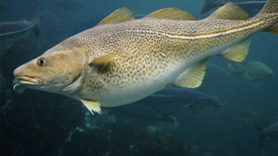 NOAA Contributing to the Recovery of Atlantic Cod Fisheries